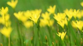 La amapola amarilla florece la mudanza en la brisa, cantidad de la cámara lenta almacen de metraje de vídeo