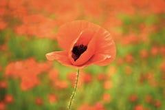 La amapola de opio, la planta botánica, el verano de la ecología y la primavera ajardinan la flor de la amapola del narcótico en  fotos de archivo