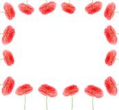 La amapola florece el marco de la frontera Imagen de archivo libre de regalías