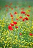 La amapola florece el prado Imagen de archivo libre de regalías