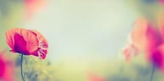 La amapola florece en el fondo borroso de la naturaleza, bandera