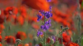 La amapola florece la naturaleza hermosa del campo de la amapola almacen de video