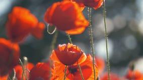 La amapola florece la naturaleza hermosa del campo de la amapola almacen de metraje de vídeo