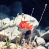 La amapola florece a lo largo de la manera de Lycian - efecto retro Fotos de archivo libres de regalías