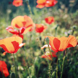 La amapola florece a lo largo de la manera de Lycian - efecto retro Imagenes de archivo