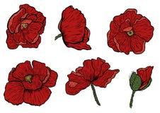 La amapola florece la mano dibujada Puede ser utilizado en propósito del diseño ejemplo, vector - acción Fotografía de archivo libre de regalías