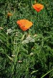 La amapola florece la naranja manosea la abeja Fotografía de archivo