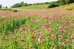 La amapola floreciente rosada, campo enorme de la floración florece Fotos de archivo