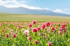 La amapola floreciente rosada, campo enorme de la floración florece Foto de archivo