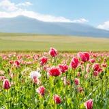 La amapola floreciente rosada, campo enorme de la floración florece Imagen de archivo