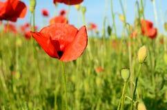 La amapola hermosa florece en un campo contra el cielo en cuesta en colores pastel Fotografía de archivo libre de regalías