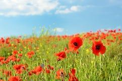 La amapola hermosa florece en un campo contra el cielo en cuesta en colores pastel Imagenes de archivo