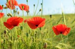 La amapola hermosa florece en un campo contra el cielo en cuesta en colores pastel Imagen de archivo