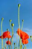 La amapola hermosa florece en un campo contra el cielo en cuesta en colores pastel Fotografía de archivo