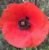 La amapola roja Fotos de archivo