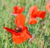 La amapola roja coloreada florece en el campo verde, flores cercanas de los uproses en un florero coloreado vibrante Imagenes de archivo
