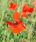La amapola roja coloreada florece en el campo verde, flores cercanas de los uproses en un florero coloreado vibrante Fotos de archivo libres de regalías