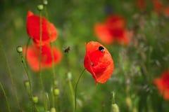 La amapola roja con manosea - la abeja Imagenes de archivo
