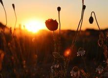 La amapola roja es encendida para arriba por el sol imagenes de archivo