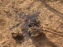 La amapola rota seca vieja dirige en la tierra seca de la arcilla agrietada Imagen de archivo libre de regalías