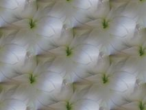 La amarilis blanca brillante florece con la repetición verde clara diagonalmente libre illustration