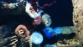 La anémona de mar es un animal suave-corpóreo ese las vidas en la superficie de las rocas en la parte inferior del mar almacen de video