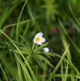 La anémona florece los brotes blancos en un fondo verde, un primr de la primavera Imagenes de archivo