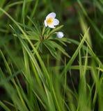 La anémona florece los brotes blancos en un fondo verde, un primr de la primavera Fotografía de archivo libre de regalías