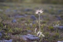 La anémona perfecta, taurica del Pulsatilla, Ranunculaceae, flor salvaje solitaria de la montaña del prado en puede en la meseta  imagenes de archivo