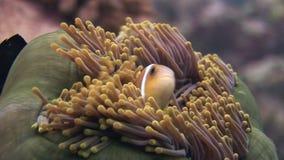 La anémona y los clownfish se cierran encima de submarino en el fondo del mar de la fauna Maldivas