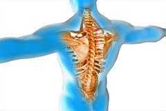 La anatomía del cuerpo humano Imagen de archivo