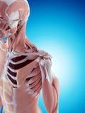 La anatomía del hombro libre illustration
