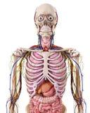 La anatomía del tórax ilustración del vector