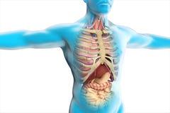 La anatomía del cuerpo humano Fotografía de archivo libre de regalías