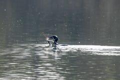 La anguila de agua dulce de la caza y de la cogida del carbón del Phalacrocorax del cormorán y perfora la piel foto de archivo libre de regalías