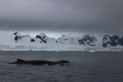 La Antártida - ballenas Imagen de archivo
