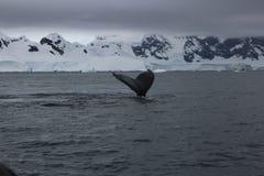 La Antártida - ballenas Foto de archivo libre de regalías