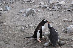 La Antártida, mamá Penguin alimenta su polluelo durante la estación que muda imagenes de archivo