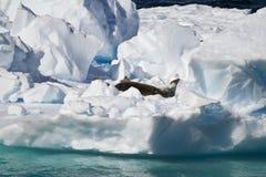 La Antártida - sellos en un iceberg Imagen de archivo libre de regalías