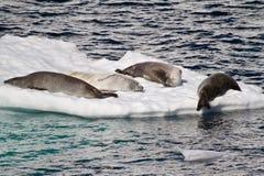 La Antártida - sellos en una masa de hielo flotante de hielo Imagenes de archivo