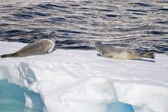 La Antártida - sellos en una masa de hielo flotante de hielo Fotos de archivo libres de regalías