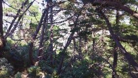 La antena, bosque del árbol de pino tira, Nueva Zelanda 4k almacen de video
