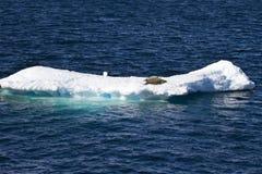 La Antártida - sellos en una masa de hielo flotante de hielo Imagen de archivo
