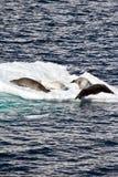 La Antártida - sellos en una masa de hielo flotante de hielo Imagen de archivo libre de regalías