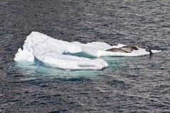 La Antártida - sellos en una masa de hielo flotante de hielo Imágenes de archivo libres de regalías