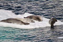La Antártida - sellos en una masa de hielo flotante de hielo Foto de archivo libre de regalías