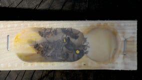 La ape-regina stock footage