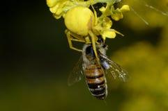 La araña amarilla cogió una abeja Fotografía de archivo