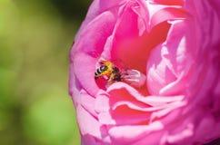 La araña blanca come la pequeña abeja Imágenes de archivo libres de regalías