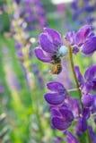 La araña blanca ha cogido una abeja Imagenes de archivo